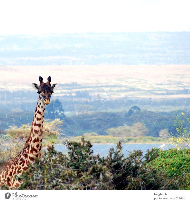 Giraffe II Safari Natur 1 Tier Zufriedenheit Afrika Kenia Wachsamkeit Farbfoto Gedeckte Farben Außenaufnahme Panorama (Aussicht) Blick in die Kamera Pflanze