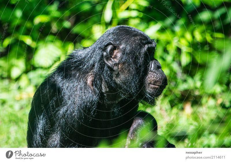 Affe im Portrait von der Seite Natur Pflanze Baum Tier Affen Schimpansen 1 atmen hocken Blick sitzen träumen alt grün schwarz Farbfoto Außenaufnahme