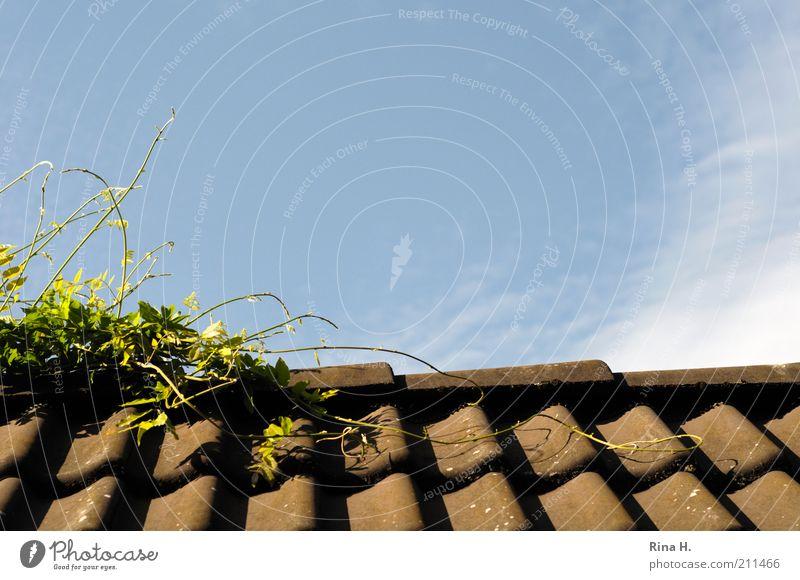 Klettermaxe Himmel Pflanze Sommer Wachstum Dach Klettern Grünpflanze Dachziegel Kletterpflanzen Glyzinie