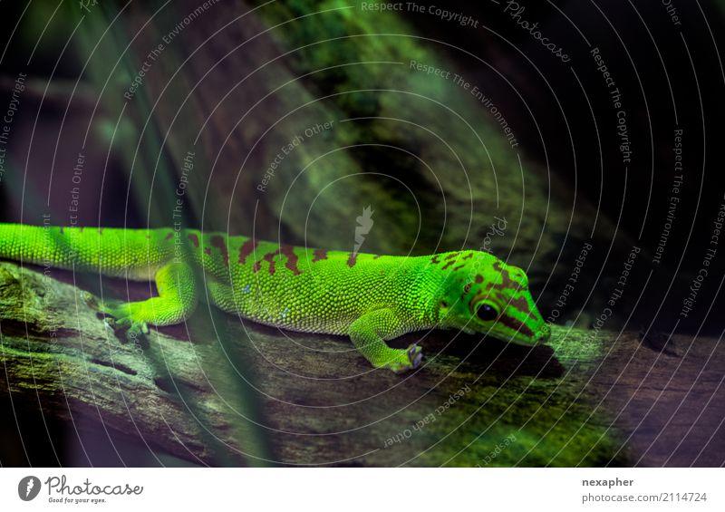 Eidechse / Gecko exotisch Natur Pflanze Tier Tiergesicht Echte Eidechsen 1 beobachten Erholung krabbeln leuchten warten glänzend schön klein braun grün