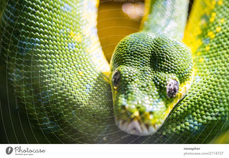Schlange in grün schön Erotik Tier gelb elegant ästhetisch beobachten Romantik bedrohlich exotisch hängen Aggression Lust klug