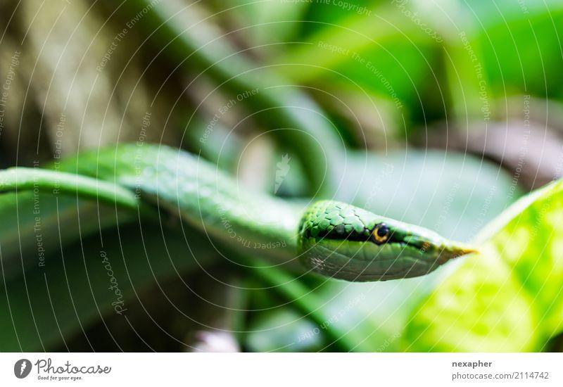 Grüne Schlange Farbe schön grün Erotik Tier kalt Gefühle natürlich elegant ästhetisch Abenteuer gefährlich bedrohlich berühren exotisch Aggression