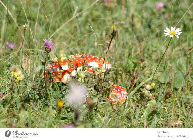Schlumpfhaus Natur Pflanze Sommer Schönes Wetter Blume Gras Blüte Wildpflanze Wiese Menschenleer verblüht Duft klein lustig rot weiß Glück gefährlich Rauchen