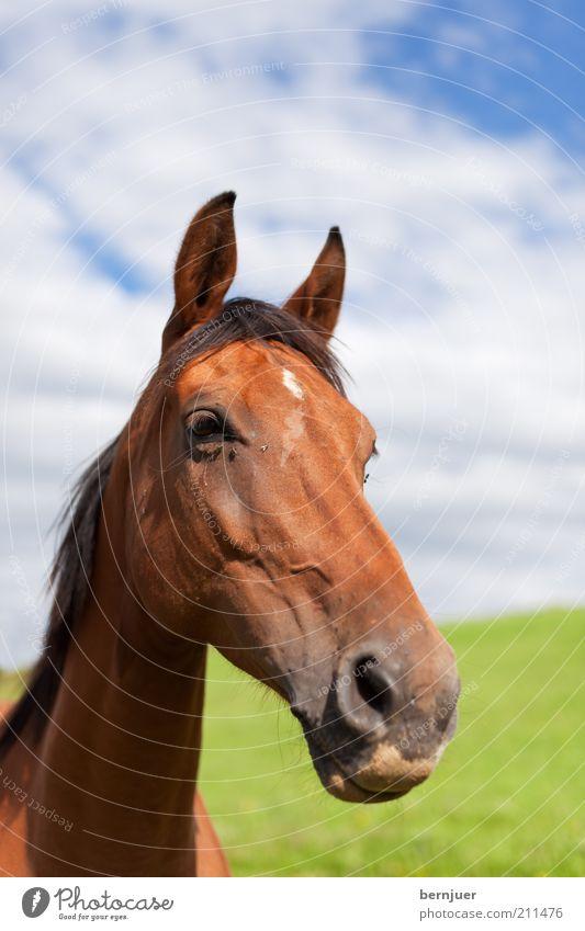 long face schön Himmel grün Sommer ruhig Wolken Tier Wiese Kopf braun Nase Pferd Tiergesicht lang