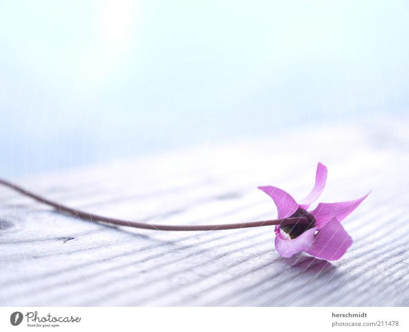 Wellness Flower Natur schön Blume Pflanze Blüte Frühling hell klein rosa violett zart natürlich Duft exotisch Leichtigkeit zerbrechlich