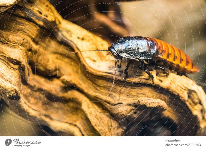 La cucaracha - die süße Kakerlake Tier Insekt Gemeine Küchenschabe 1 entdecken hocken krabbeln sitzen warten Ekel frei groß gruselig hässlich braun schwarz