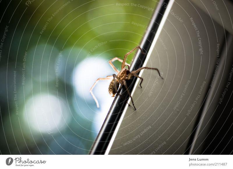 Itsy Bitsy Spider Tier gelb Fenster aufwärts Ekel Spinne Scheibe krabbeln Unschärfe Textfreiraum links Fensterrahmen Spinnenbeine