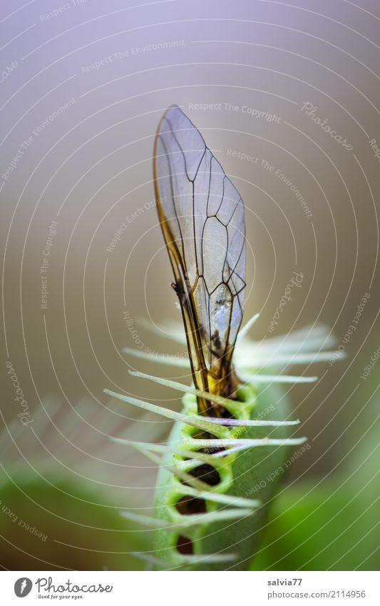 Gefangen Natur Tier Pflanze Wildpflanze exotisch Venusfliegenfalle Moor Sumpf Fliege festhalten außergewöhnlich bedrohlich listig blau grau grün Risiko skurril