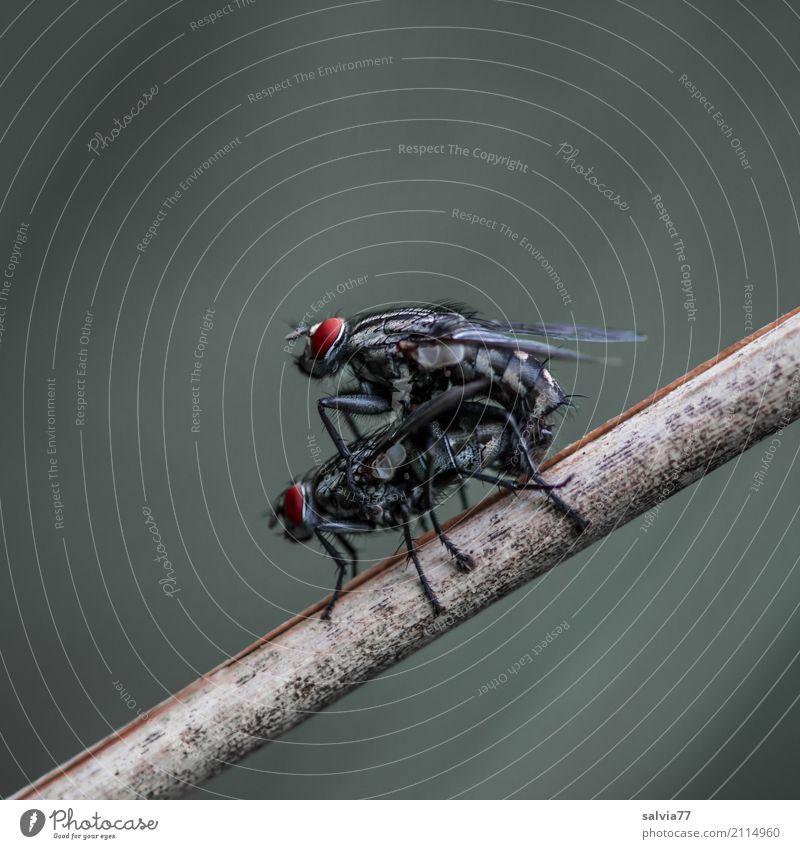 Freizeitspaß | Fortpflanzung Natur Pflanze Tier Fliege Insekt Produktion Sex 2 grau rot schwarz Glück Freude Zusammenhalt Zusammensein Paar Farbfoto