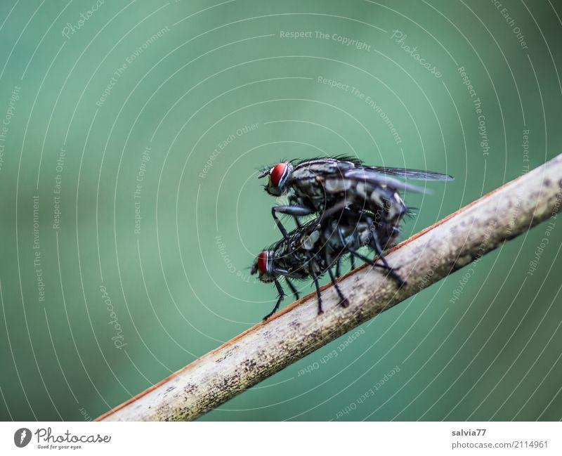 Teamwork Natur Schilfrohr Tier Fliege Flügel Insekt Sex Fortpflanzung Facettenauge 2 festhalten genießen Sport Zusammensein sportlich grau grün Kontakt