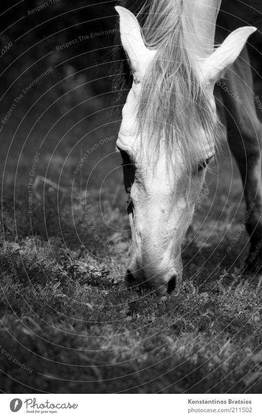 grasen Frühling Sommer Wiese Weide Tier Pferd 1 Fressen frei schön Tierliebe Erholung Mähne Nüstern Ohr Kopf Auge Schwarzweißfoto Außenaufnahme Menschenleer
