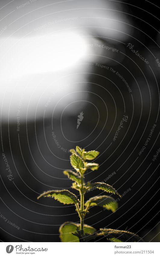 Sommer Minze Umwelt Wärme Pflanze Nutzpflanze grün Farbfoto Außenaufnahme Menschenleer Textfreiraum oben Dämmerung Lichterscheinung Starke Tiefenschärfe Blatt