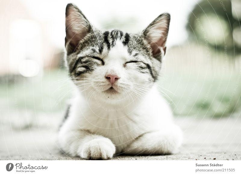 nach dem Essen sollst du ruhn Tier Katze klein träumen hell Tierjunges liegen Nase Wildtier süß niedlich Ohr Fell Müdigkeit schlafen Haustier