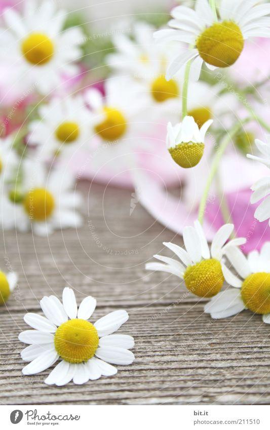 Kamille Pflanze Frühling Sommer Blüte liegen gelb weiß Kamillenblüten Holz Heilpflanzen natürlich Duft schön Kräuter & Gewürze viele fallen Luft luftig leicht