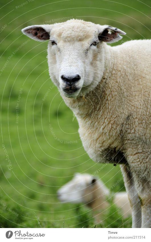 Schaf blickt in Kamera Haustier Nutztier 2 Tier natürlich Deich bodenständig Interesse stehen Blick Ohr Weide Schaffell Tiergesicht Maul Nase Auge 1 Unschärfe