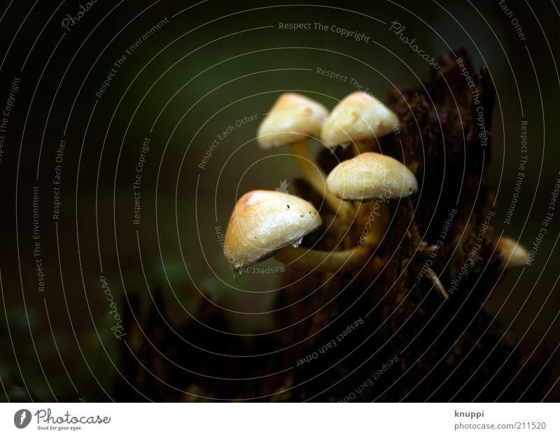 Destruenten Pilz Pilzhut Umwelt Natur Pflanze Urelemente Erde Sonnenlicht Herbst schlechtes Wetter Regen Moos Wildpflanze Holz dunkel braun grün weiß Farbfoto