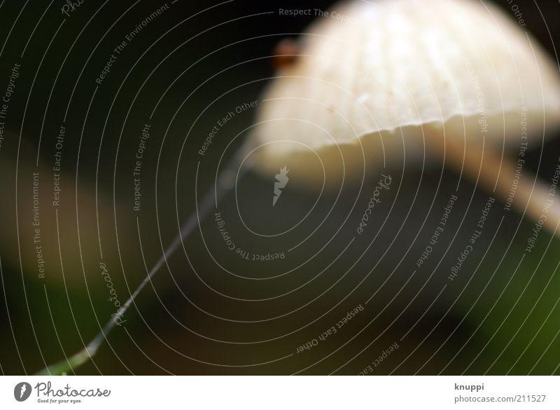 Am seidenen Faden Pilz Pilzhut Umwelt Natur Tier Erde Herbst Schönes Wetter Spinne Spinnennetz stehen Wachstum braun grün weiß fadenförmig beige Unschärfe ruhig