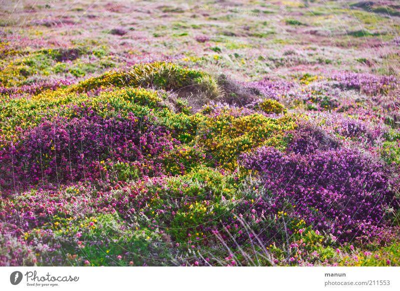 Bretagne III - Bruyères Natur Blume Pflanze Sommer gelb Wiese Herbst Blüte Landschaft rosa geschlossen Sträucher violett fantastisch Blühend Schönes Wetter