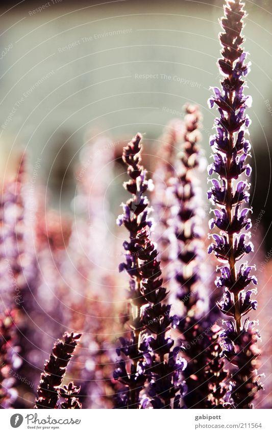lichtdurchflutet Umwelt Natur Pflanze Blume Blüte exotisch Sommer Licht Gegenlicht sommerlich violett Abenddämmerung Kräuter & Gewürze Gedeckte Farben
