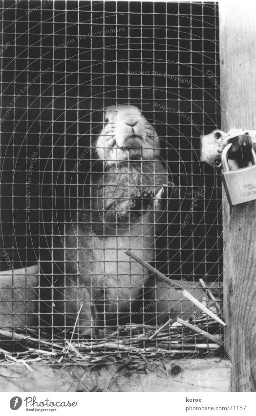 hinter schloss und riegel Hase & Kaninchen Stall Gitter Schwarzweißfoto