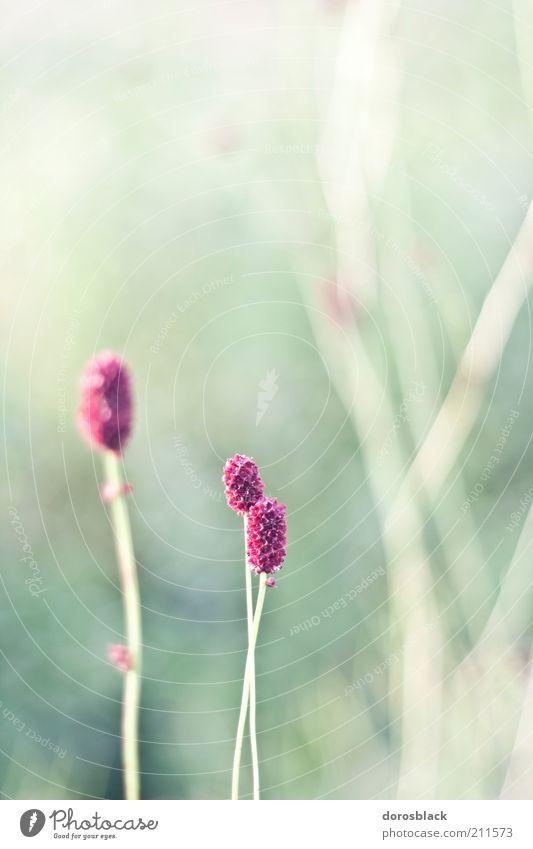violet . Umwelt Natur Landschaft Pflanze Frühling Sommer Schönes Wetter Blume Gras Sträucher Wildpflanze ästhetisch einfach hell grün violett ruhig Farbfoto