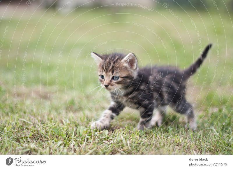 le petit chat . Natur schön grün Tier Wiese Gras Garten Katze Wärme braun klein Tiergesicht Fell Neugier niedlich Haustier
