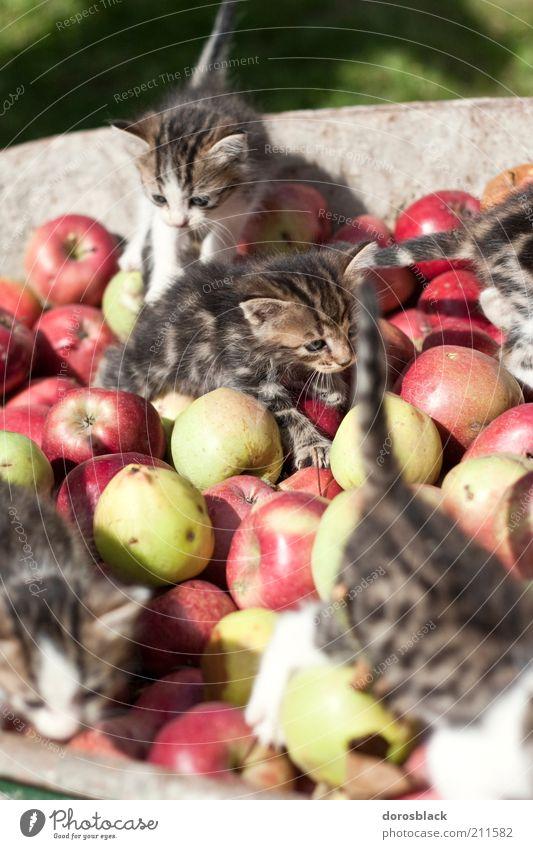 les chatons et les pommes . Natur grün rot Tier Katze braun Tiergruppe Spielen Apfel natürlich Neugier niedlich Frucht Haustier krabbeln