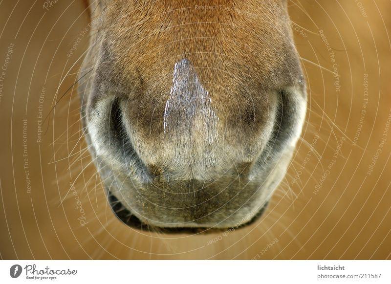 Pferdenüstern Tier braun Nase Lippen Tiergesicht Fell Ponys Schnauze Maul Sinnesorgane Schnurrhaar Nüstern Pferdekopf Härchen Island Ponys