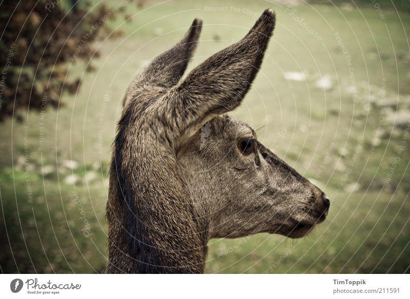 Rehlein auf der Heiden grün Tier Kopf Umwelt Ohr Tiergesicht zart Wildtier niedlich Schüchternheit unschuldig Reh Vignettierung Profil Tierjunges