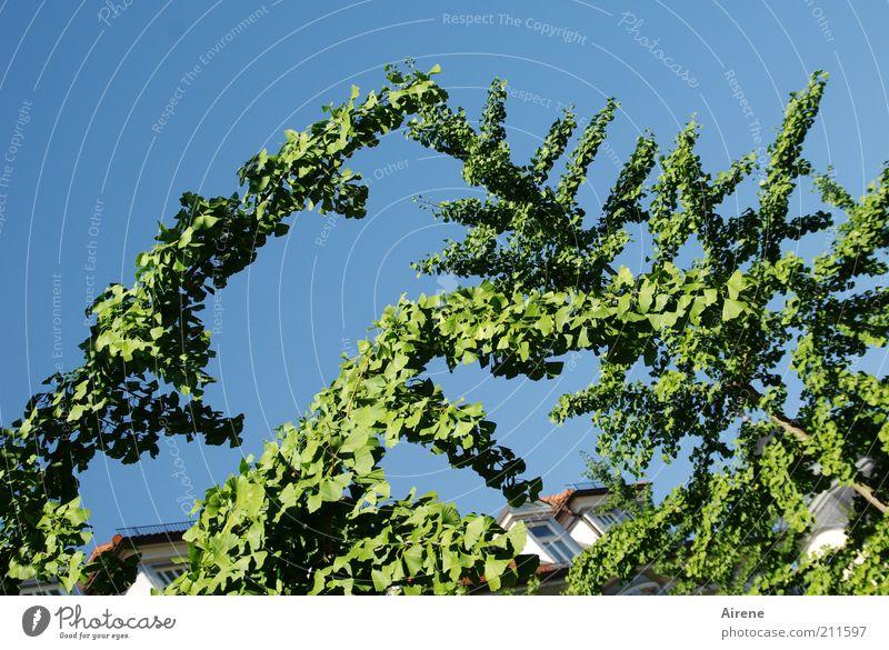 Aufforderung zum Tanz Sommer Pflanze Wolkenloser Himmel Schönes Wetter Baum Ast Haus Fenster Dach berühren Wachstum ästhetisch elegant natürlich oben blau grün