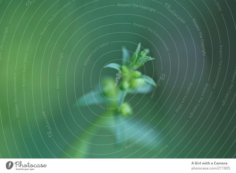grün Umwelt Natur Pflanze Sommer Klima Nebel Gras Sträucher Blatt Blüte Wildpflanze Coolness elegant frei Blütenknospen Wachstum Makroaufnahme Unkraut ruhig