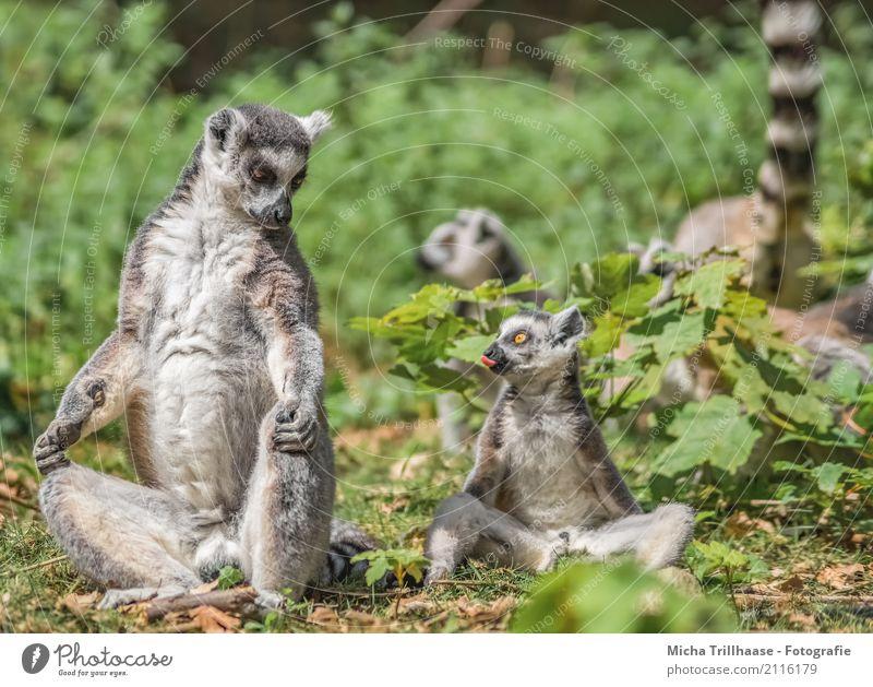 Freches Kind Kindheit Zunge Natur Tier Sonne Pflanze Wildtier Tiergesicht Fell Pfote Affen Katta Halbaffen 4 Tiergruppe Tierjunges Tierfamilie Blick sitzen
