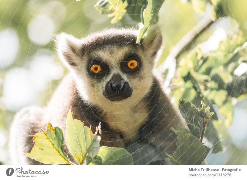 Leuchtende Augen Umwelt Natur Tier Sonne Sonnenlicht Schönes Wetter Baum Blatt Wildtier Tiergesicht Fell Affen Katta Halbaffen 1 beobachten glänzend hocken