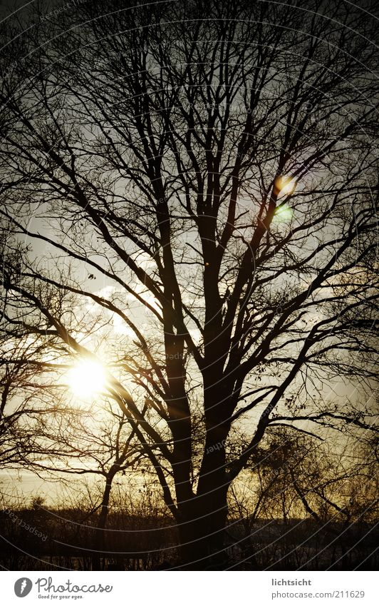 Winterbaum im Gegenlicht Umwelt Natur Landschaft Wetter Schönes Wetter Eis Frost Baum Feld Wald alt blau schwarz Gefühle Traurigkeit Trauer Vergangenheit