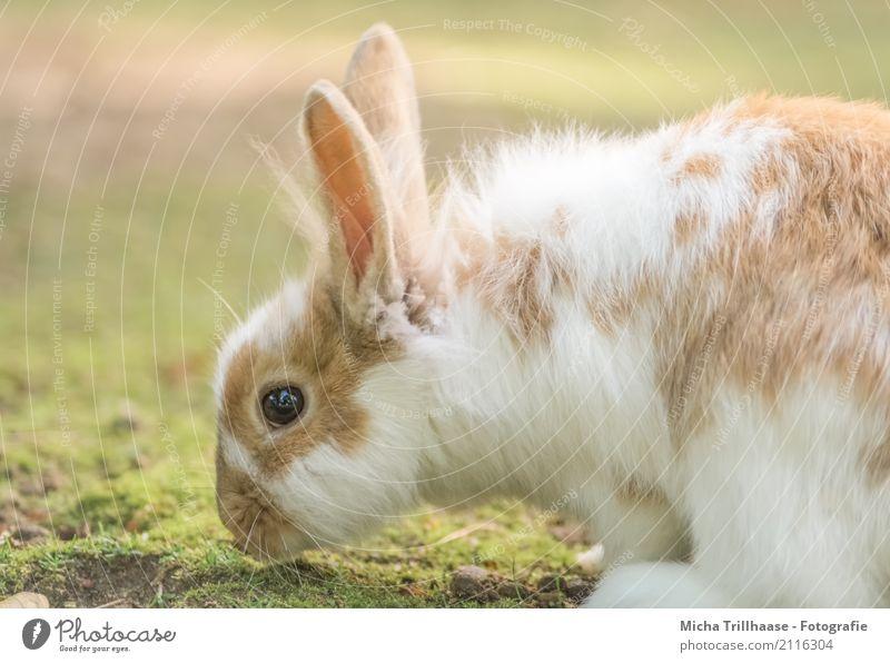 Zwergkaninchen auf der Wiese Natur grün weiß Sonne Tier gelb Auge natürlich Gras orange glänzend sitzen Schönes Wetter niedlich weich