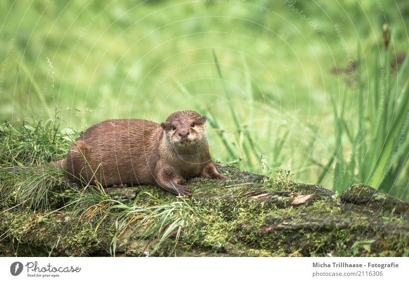 Im Blick des Otters Umwelt Natur Tier Sonne Sonnenlicht Pflanze Gras Moos Seeufer Wildtier Tiergesicht Fell Pfote Fischotter 1 beobachten Erholung liegen nah