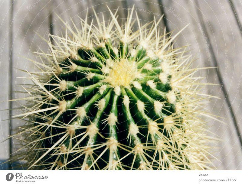 stacheliger Freund Kaktus grün Holz Stachel