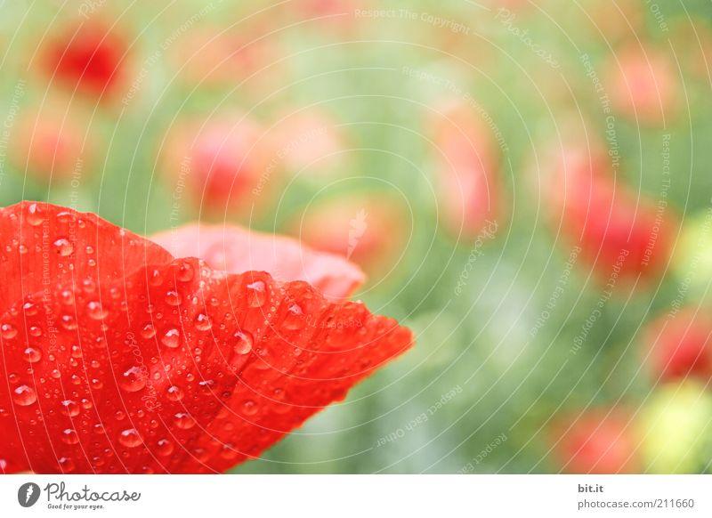 Papaver Feste & Feiern Valentinstag Muttertag Pflanze Wasser Wassertropfen Sommer Blume Wiese Glück Optimismus Mohn Mohnfeld Mohnblüte Mohnblatt Klatschmohn