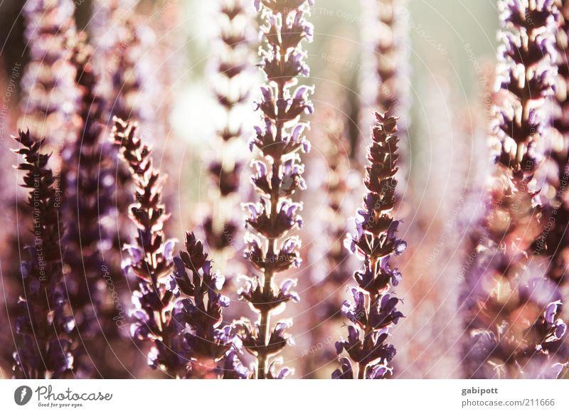 lichtdurchflutet 02 Umwelt Natur Pflanze Sonnenlicht Sommer Schönes Wetter Blume Sträucher Blüte Wildpflanze exotisch Blutweiderich ästhetisch Duft natürlich