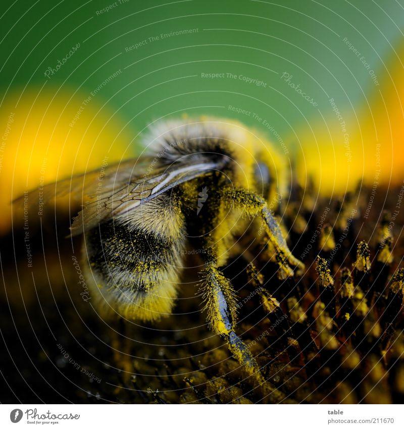 busy bee Pflanze Blume Blüte Nutzpflanze Sonnenblume Tier Wildtier Hummel Insekt Flügel 1 krabbeln ästhetisch natürlich braun gelb gold grün schwarz fleißig