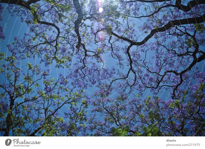 Portuguese Summer (1000 Teile) Umwelt Natur Himmel Wolkenloser Himmel Sonnenlicht Frühling Sommer Klima Wetter Schönes Wetter Pflanze Baum Akazie Wald Blühend