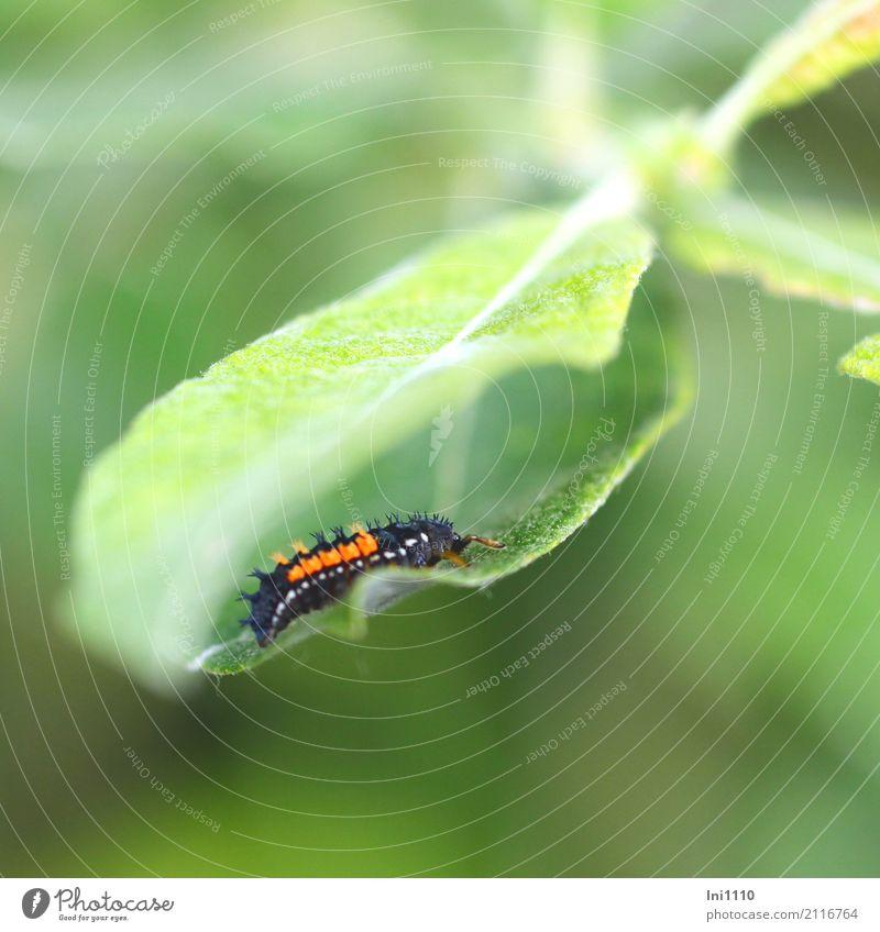 Marienkäferlarve Umwelt Natur Tier Sommer Schönes Wetter Blatt Garten Park Wiese Feld Wald Wildtier Käfer Harmonia axyridis 1 außergewöhnlich exotisch grün
