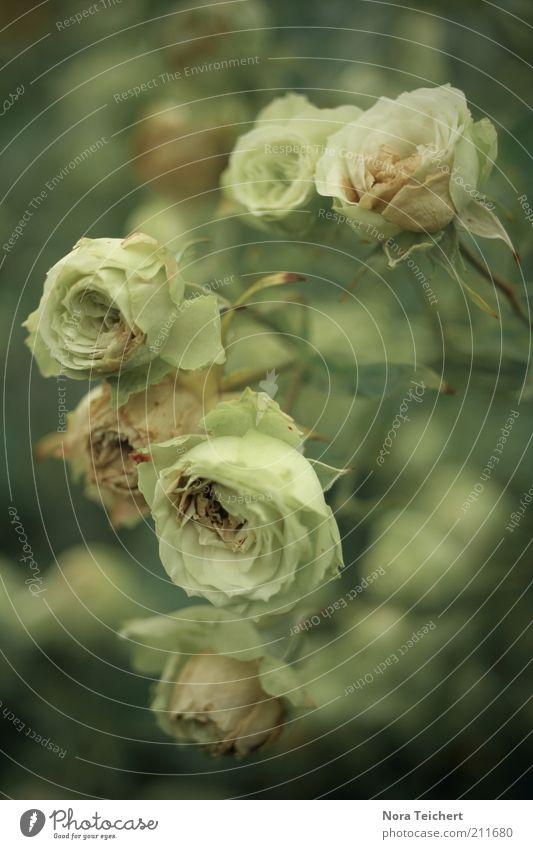 Rosen Natur schön Blume Pflanze Sommer Gefühle Blüte Frühling Stimmung Umwelt ästhetisch Wachstum Sträucher Blühend Duft