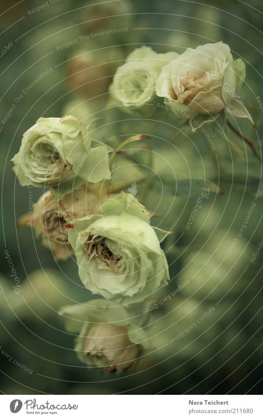 Rosen Umwelt Natur Pflanze Frühling Sommer Blume Sträucher Blüte Blühend Wachstum ästhetisch schön Gefühle Stimmung Duft Farbfoto Gedeckte Farben Außenaufnahme