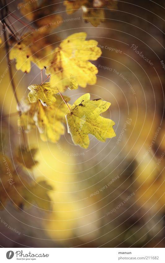 Bergahorn im Herbst Natur Blatt Ast Zweige u. Äste Herbstlaub herbstlich Herbstfärbung Herbstbeginn schön gelb Vergänglichkeit Wandel & Veränderung Farbfoto