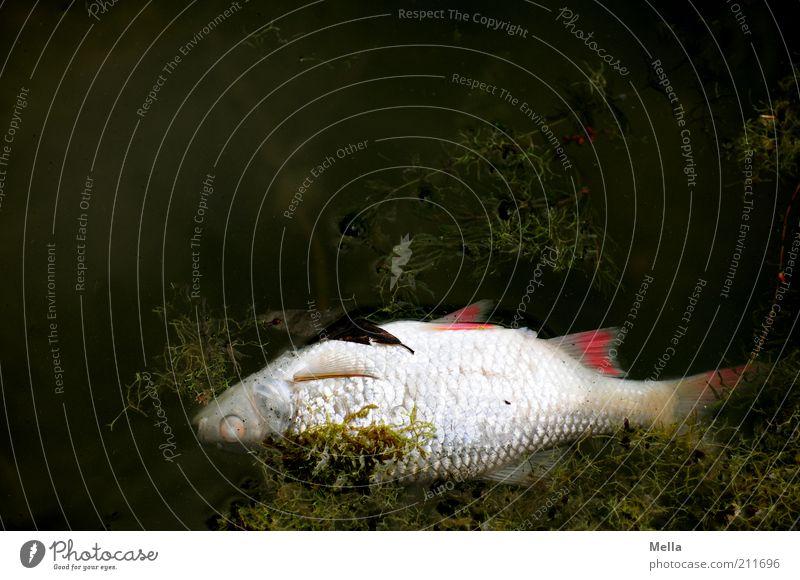 Mit dem Strom schwimmen. Umwelt Natur Wasser Algen Wasserpflanze Teich See Totes Tier Fisch 1 dunkel Ekel natürlich Stimmung Tod Ende Endzeitstimmung