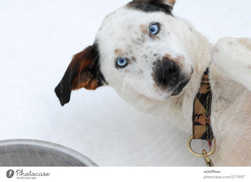 Futter? Tier Hund lustig liegen Wunsch Freundlichkeit Haustier Begeisterung Vogelperspektive Krankheit Futter listig Schlittenhund Perspektive Halsband