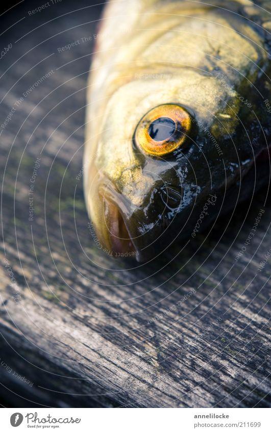 Goldfisch Lebensmittel Ernährung Bioprodukte Tier Wildtier Totes Tier Fisch Auge Rotfeder Maul Karpfen 1 Holz fangen frisch nass gelb gold Tod Farbfoto
