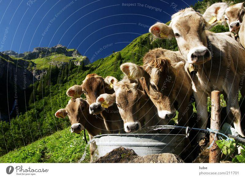 Wir gratulieren Ferien & Urlaub & Reisen Berge u. Gebirge Umwelt Natur Landschaft Wasser Wolkenloser Himmel Sommer Schönes Wetter Alpen Tier Nutztier Kuh