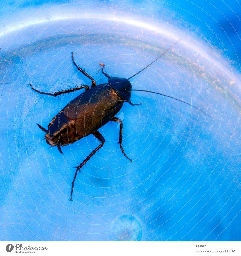 La Cucaracha blau Tier Beine braun Sauberkeit Symbole & Metaphern gefangen Käfer Fühler krabbeln Schaben Eimer Schädlinge Makroaufnahme Schädlingsbekämpfung Gemeine Küchenschabe